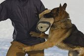 German Shepherd trained detention humans (bites into training sleeve) poster