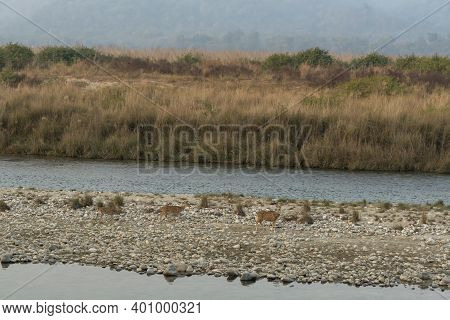 Spotted Deer Or Chital Or Axis Axis Herd On Small Stones And Rocks Crossing Ramganga River At Dhikal