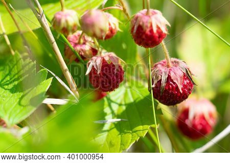 Wild Uncultivated Red Ripe Forest Strawberries Growing On The Sunlit Field. View Trough Leaves.