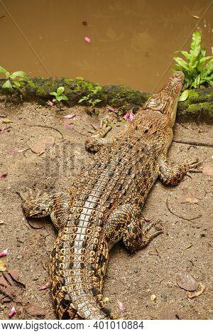 Juvenile Saltwater Crocodiles, Also Known As Estuarine Or Indo-pacific Crocodile, Crocodylus Porosus