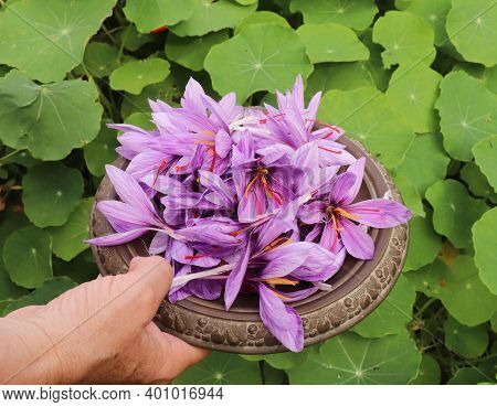 Saffron In An Oriental Bowl.it Is Among The Worlds Most Costly By Weight. In October, The Saffron Is