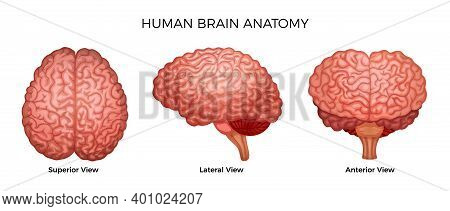 Human Brain Anatomy Color Set Of Superior Lateral And Anterior Views Of Cerebral Cortex With Cerebru