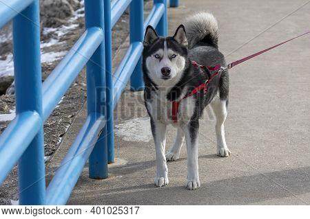 Dog. Young Alaskan Malamute On The Walk.