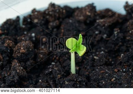 Sprout of cannabis growing indoors, macro shot