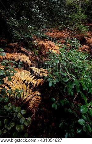 Autumn Landscape With Yellow Plants , Pteridium Aquilinum In The Rainforest. Troodos Forest Cyprus