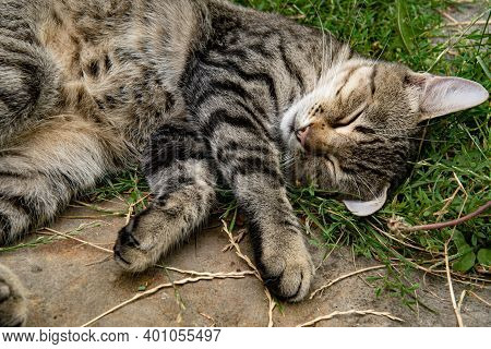 Cute Grey Tabby Cat With Closed Eyes Napping Outdoors With Furry Belly Up. Young Cat With Long White