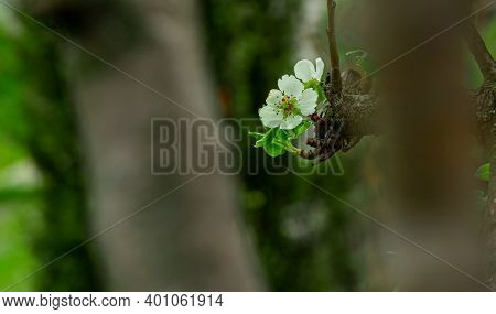 Soft Focus White Flower On Tree Branch Spring Time Blossom Season Of April With Unfocused Blurred Ba
