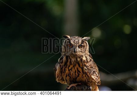 Portrait Of Eurasian Eagle Owl Observes Resting On A Trunk With The Remains Of A Prey In Its Claws,