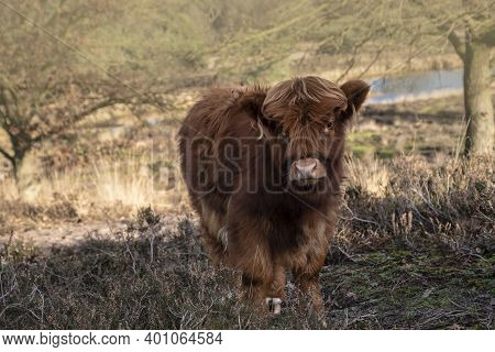 Close Up Portrait Of Furry Scottish Highland Cattle Calf In Cold Weather - Winter Time. Beautiful Hi
