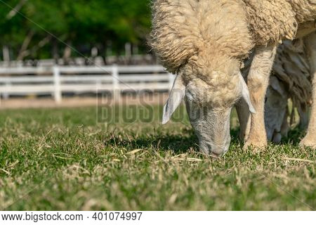 Close Up Brown Woolly Sheep Grazing In A Farm Field, Low Angel View Parallels The Ground, Blurred Ba