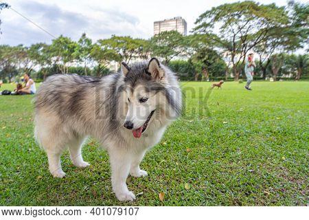 Cute Alaskan Malamute Dog Standing On The Green Grass