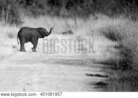 The African Bush Elephant (loxodonta Africana) The Young Elephant Standing On A Gravel Path With A T