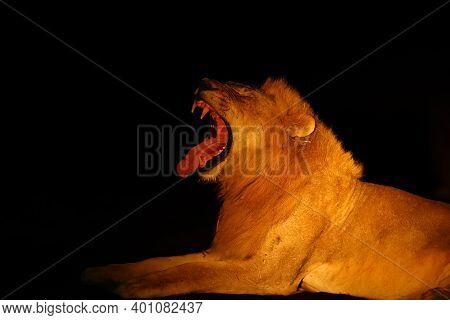 The Southern Lion (panthera Leo Melanochaita) Or Eastern-southern African Lion Or Panthera Leo Krueg