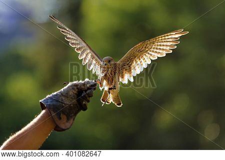 The Common Kestrel (falco Tinnunculus) Or European Or Eurasian Kestrel Flying In Backlight. Female K