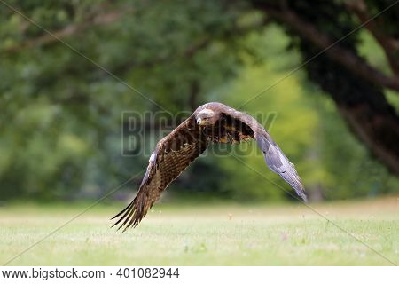 The Steppe Eagle (aquila Nipalensis) Flies Low On The Grass In A Forest Park. Big Eagle In Green. Bi