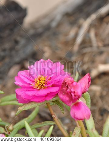 A Pink Mesembryanthemums Know As A Vygie In South Africa