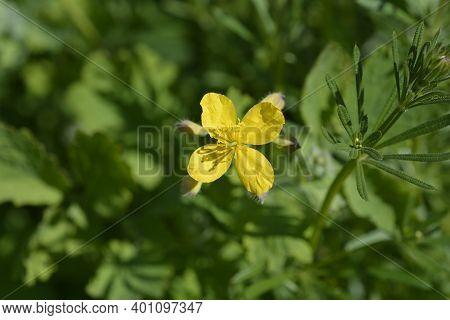 Greater Celandine - Latin Name - Chelidonium Majus