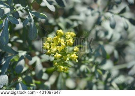 Common Rue Flower - Latin Name - Ruta Graveolens