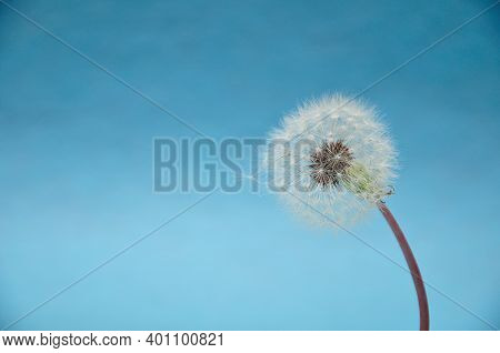 A Dandelion Isolated Against A Blue Background