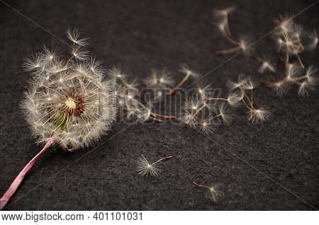 A Broken Dandelion Isolated Against A Black Background