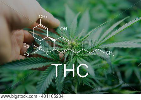 Thc Tetrahydrocannabinol And Marijuana. Cannabis Legalization Medical Pot. Formula Cannabis .