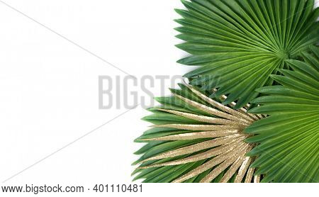 Green and gold tropical leaves on a white background. Fan palm leaves. Licuala grandis leaf (Fan Palm) tropical green isolate on white background.