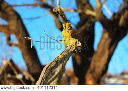 Winter Mossy Tree Branch View. Branch Moss View. Mossy Branch Macro View Winter Mossy Tree Branch Vi