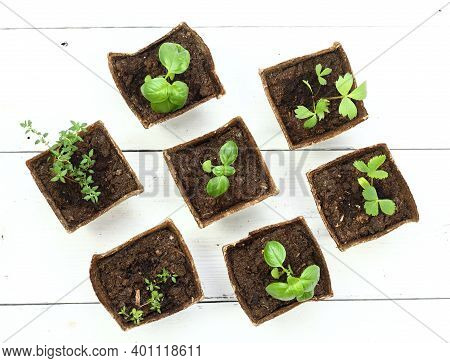 Young Herb Seedlings In Pots, Top View, Flat Lay. Small Thyme, Basil, Bee Balm And Dong Quai In Biod