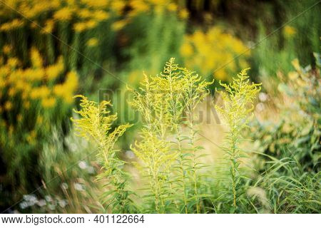 Blooming Goldenrod (solidago Altissima) In Sunset With Low Dof, Soft Focus Lens