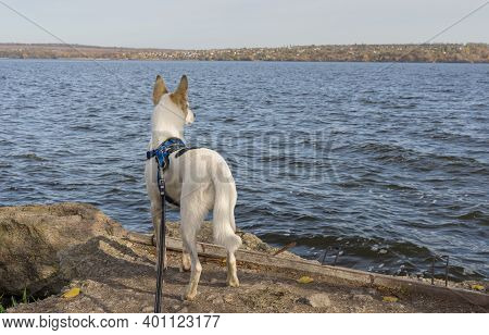 Big White Dog In Breast-band Standing On A Dnipro Riverside And Looking On Far Bank