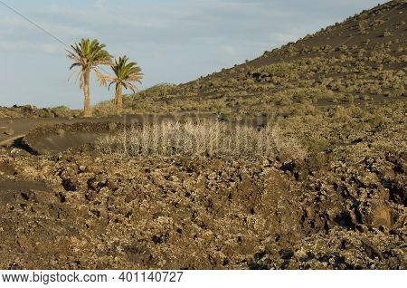 Volcanic Landscape And Canary Island Date Palms Phoenix Canariensis. Los Volcanes Natural Park. Tina
