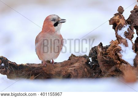 Smiling Eurasian Jay Sitting With Open Beak On The Stub Covered By Snow