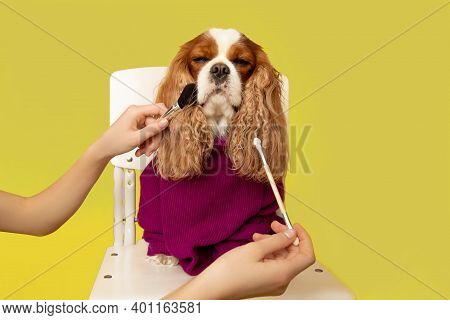 Professional Dog Grooming In Grooming Salon. Groomer Is Holding Beauty Tools, Makeup Brushes. Yellow
