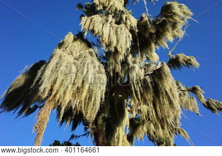 Spanish moss hunging from tree, close up view. Sunny day blue sky, Green environment Nature of Chile, Pucon