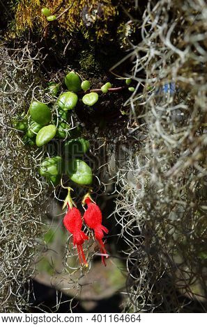 Small rare red flowers Chilean mitre flower and hanging curly Spanish moss close up photo with selective focus. Nature of Chile