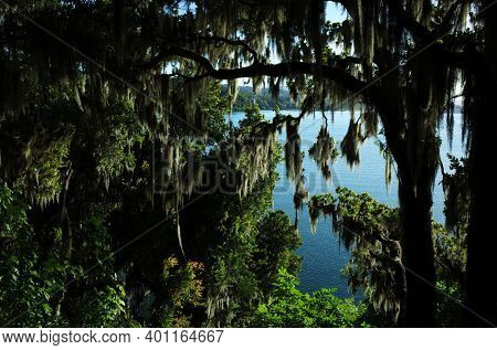 Lake Villarrica seen through dense thickets of trees with hanging Spanish moss, Opposite light, Green environment Nature of Chile, Pucon