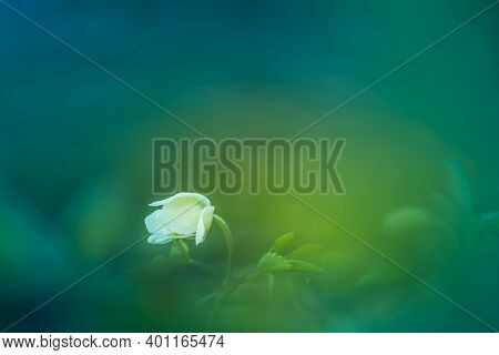 A Beautiful White Wood Anemone Flower In The Spring. Shallow Depth Of Field, Wide Negative Space. An