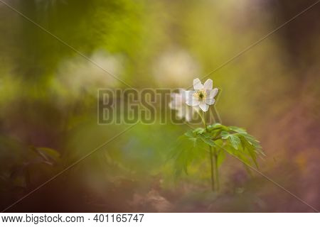 Beautiful White Wood Anemone Flowers On A Forest Ground. Shallow Depth Of Field, Wide Negative Space