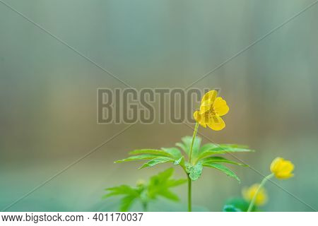 Beautiful Yellow Anemone Flowers Blooming On A Forest Ground. Shallow Depth Of Field, Wide Negative