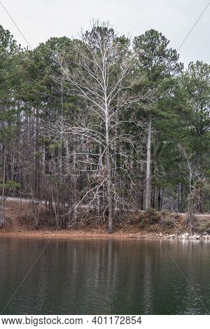 Big White Bare Tree Standing Tall On The Shoreline At The Lake With The Green Pine Trees In The Back