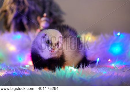 Studio Portrait Of Adult Ferret In Christmas Style With Led Lights