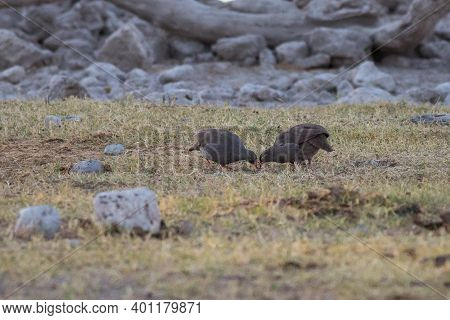 Etosha, Namibia, June 19, 2019: Two Gray Partridges With A Red Beak Graze On A Green Lawn In A Rocky