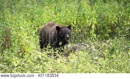 Front View Of A Black Bear Feeding In A Meadow At Yellowstone National Park In Wyoming