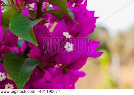 Bright Pink Purple Bougainvillea Flowers As Floral Background. Close - Up Of Bougainvillea Flowers.