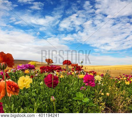 Greeting postcard. Multi-colored buttercups sway from the spring wind. Spring holiday greeting postcard. Sunny day. Blooming kibbutz field under a blue spring sky. The concept of artistic photography