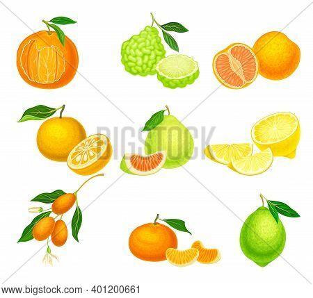 Citrus Hesperidium Fruits With Mandarin And Kumquat Vector Set