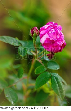 Rosa Damascena, Known As The Damask Rose - Pink, Oil-bearing, Flowering, Deciduous Shrub Plant. Ball