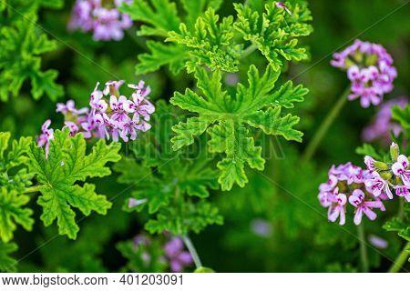 Light Pink Rose Geranium Or Sweet Scented Geranium Pelargonium Graveolens In The Garden. Citrosa Ger