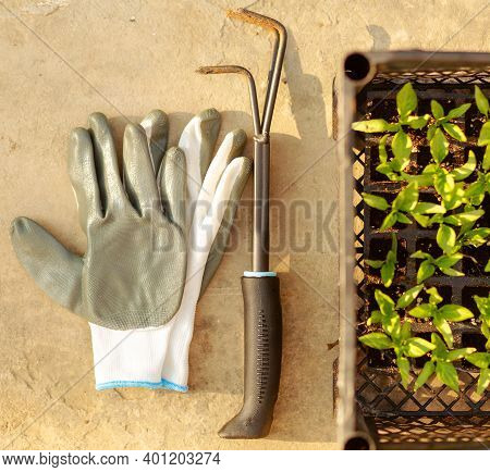 Top View Of Gardening Grey Gloves ,pepper Sprouts, Small Rake On Beton Background.planting At Home.