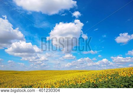A Beautiful Field Of Sunflowers. Bright Yellow Blooming Meadow Sunflowers Against A Blue Sky With Cl